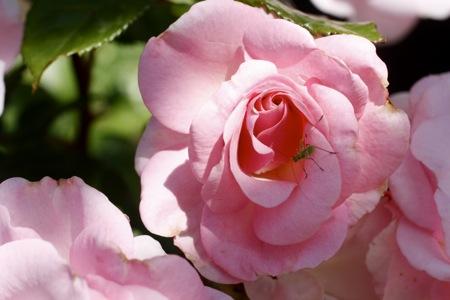 kimberlina rose