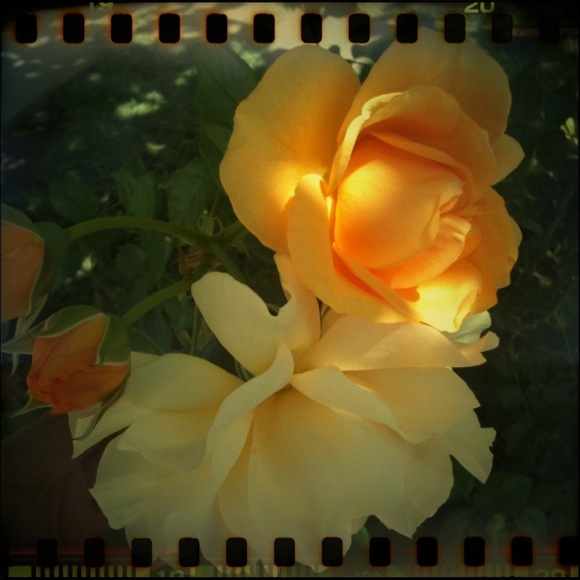 julia child floribunda roses