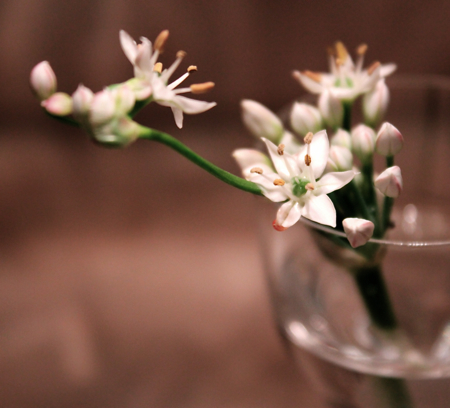 Chinese Chive Blossom