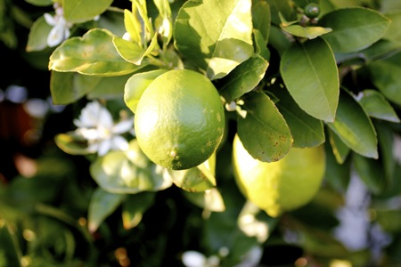lime tree, persian lime