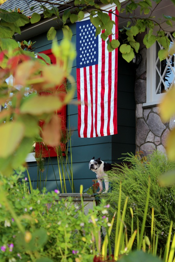 american flag and boston terrier