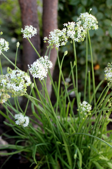 garlic chives in garden, garlic chives pad thai