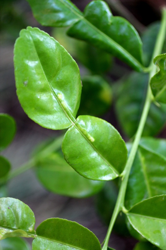 double-lobed kaffir lime leaf