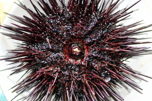 sea urchin mouth