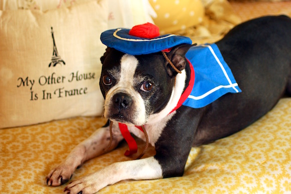 Boston Terrier Masquerades as French Bulldog