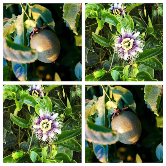 Passion Fruit and Passion Fruit Flower