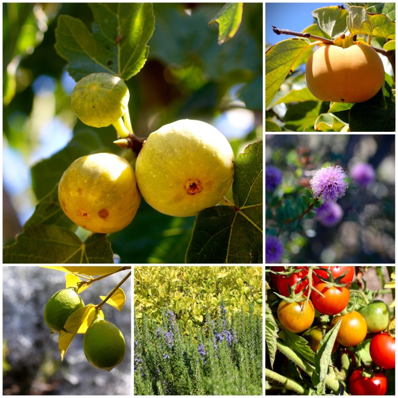 Olive Harvest Celebration and Palos Verdes Pastoral