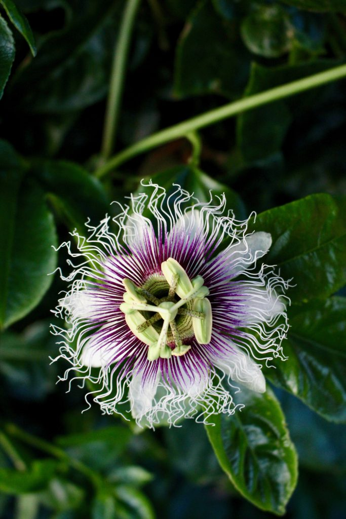 Passion Fruit Flower