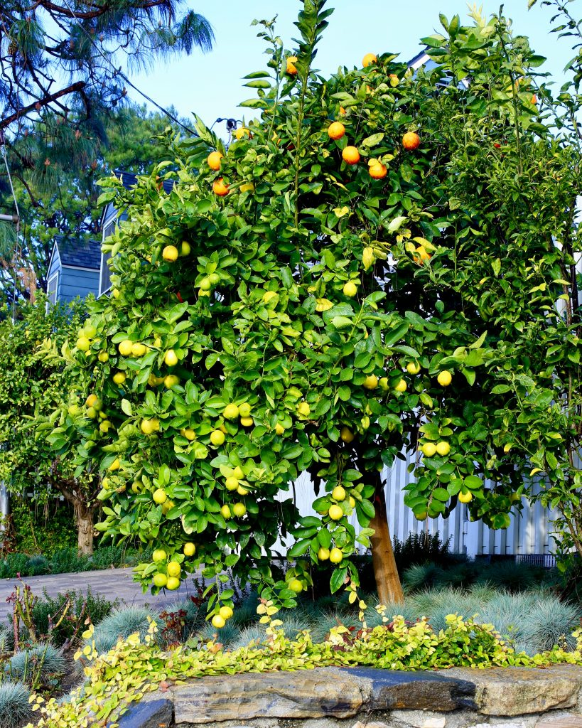 Citrus Salad Tree